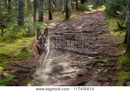 German Shepherd Dog Taking A Break On A Hike To Pant With Visible Breath