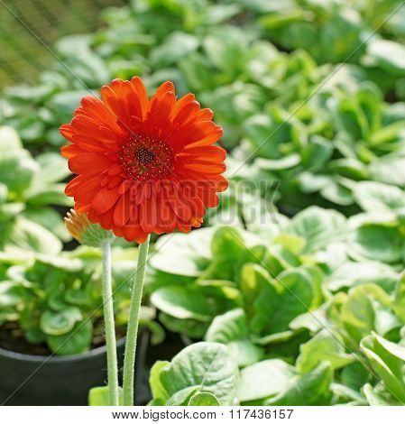 Beautiful Gerbera Or Barberton Daisy Flower