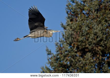 Great Blue Heron Flying Past An Evergreen Tree