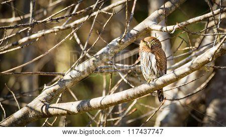 Wild Owl in Nature