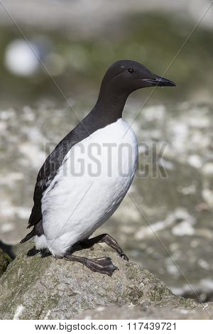 Common Murre Which Stands On A Cliff Near The Colony Summer Day