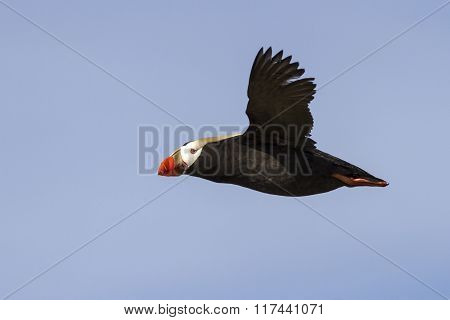 Tufted Puffin  That Flies Over The Colony Summer Day