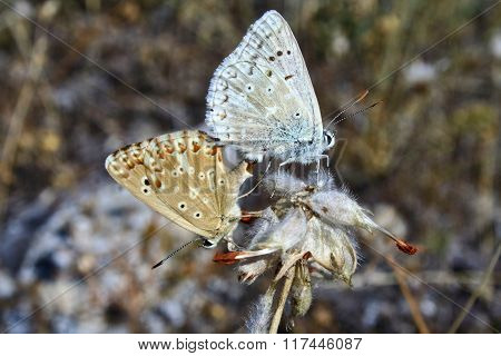 Mate of two butterflies