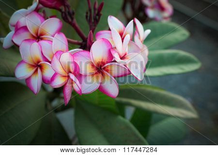 Plumeria Flower On Red And White