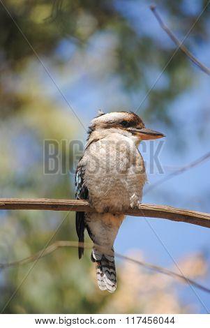 Wild Kookaburra