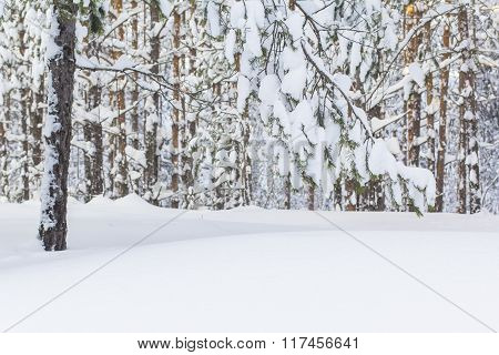 beautiful winter landscape with snow-covered pine forest