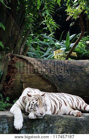 White Tiger 7