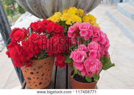 Flower Euphorbia milii in pot