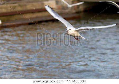 Mew gull in flight