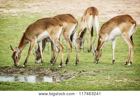 Eld's Deer (panolia Eldii), Group Of Animals By The Water