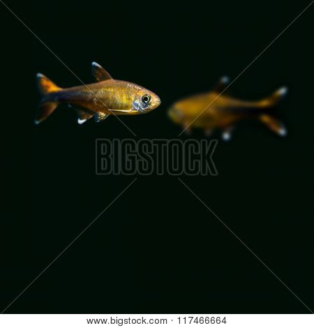 Pair Silver Tipped Tetra fishes on black background. gold, orange colorful aquarium fish. Shallow de