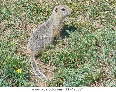 The gopher sits on the earth among a grass and looks afar - a photo 1