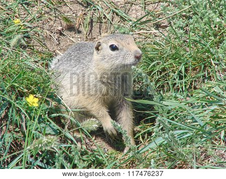 The gopher sits on the earth among a grass and looks afar - a photo 3