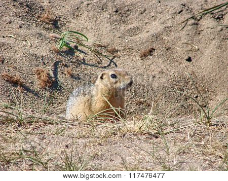 The gopher sits on sand and looks forward - a photo 1