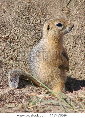 The gopher sits on sand and looks forward - a photo 6