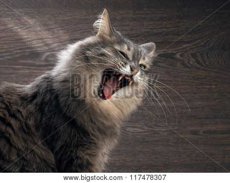 The cat yawns