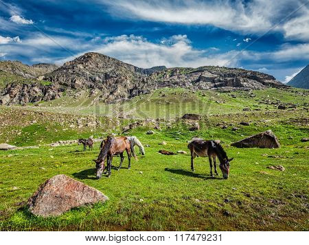 Horses grazing in Himalayas. Lahaul valley, Himachal Pradesh, India