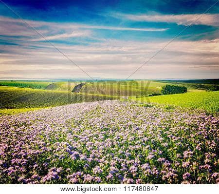 Vintage retro effect filtered hipster style image of Rolling fields of Moravia, Czech Republic with purple flowers