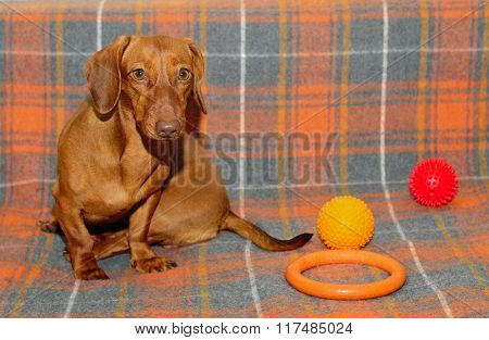 Dog sitting on the couch, the dog plays. Dachshund breed of dog, a young female.