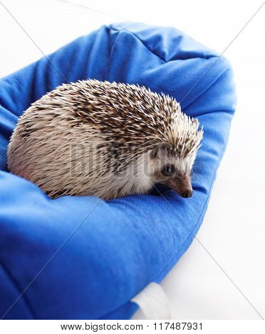 Cute Hedgehog