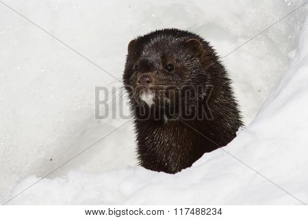 Portrait Of An American Mink Which Looks Out From A Snow