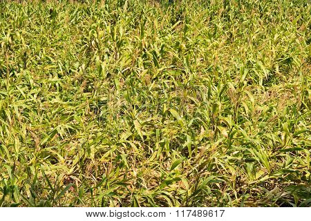 Agriculture Green Corn Farms Nature Abstract Background