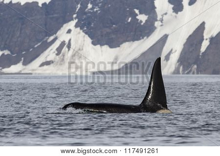 Male Killer Whale Who Swims Against The Backdrop Of Bering Island