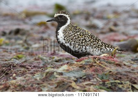 Pacific Golden Plover Which Stands Among The Seaweed On The Beach