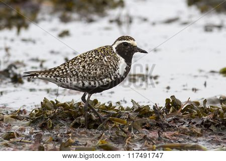 Pacific Golden Plover Which Stands Among The Seaweed On The Sea Beach