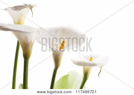White calla lily flowers