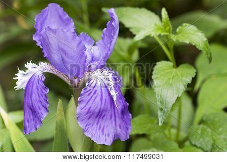Wall iris flower
