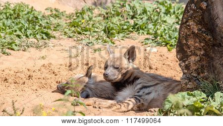Predators Of Animals. Hyenas Sleep In The Shade