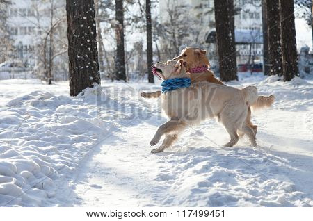 two young golden retriever dogs playing outdoors in winter.
