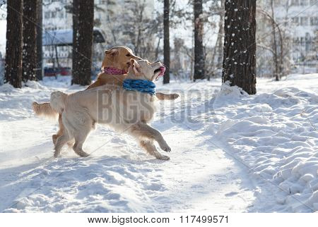 two golden retriever. young dogs playing outdoors in winter.