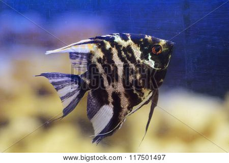 Black Angelfish In An Aquarium