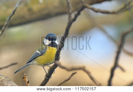 Great Tit (Parus major) resting on a branch