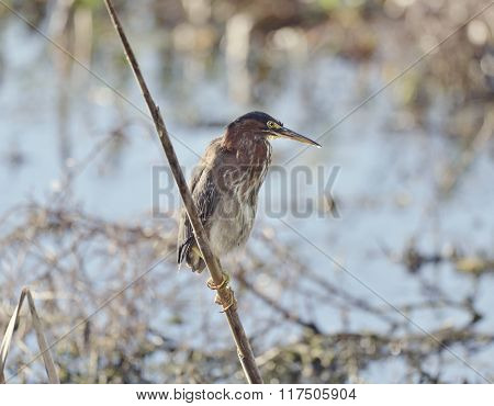 Tricolored Heron Perching in Florida Wetlands