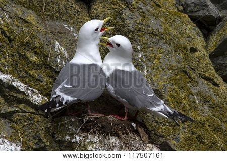 Red-legged Kittiwake Couple Sitting In The Nest And Cry