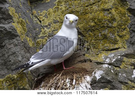 Red-legged Kittiwake Is Sitting On A Nest On A Rock And Looking Straight