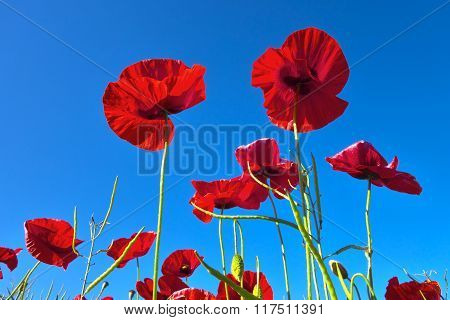 Poppies And  Blue Sky.