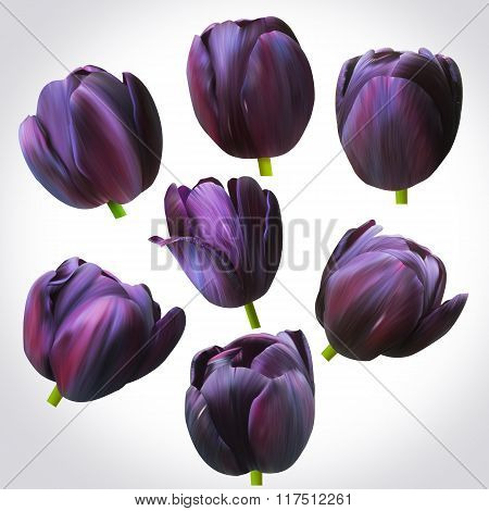 Collection Of Black Tulips Heads For Design. Set Of Floral Buds For Decoration.