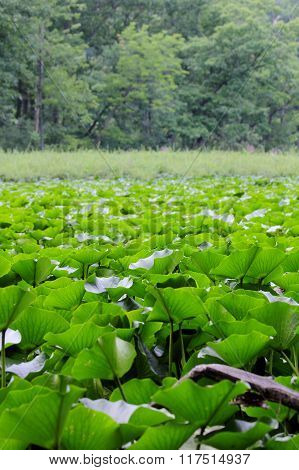 Lily Pads Galore