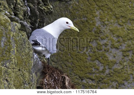 Black-legged Kittiwake Which Sits On A Rock In Spring Cloudy Day
