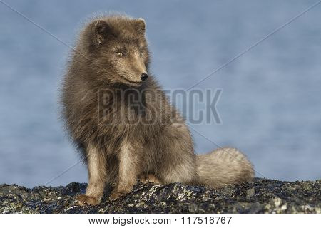 Commander's Blue Arctic Fox Sitting On The Beach On A Sunny Day