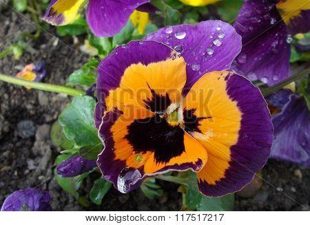 Orange and violet pansies (Víola trícolor)