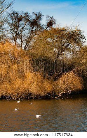 Rooks nesting