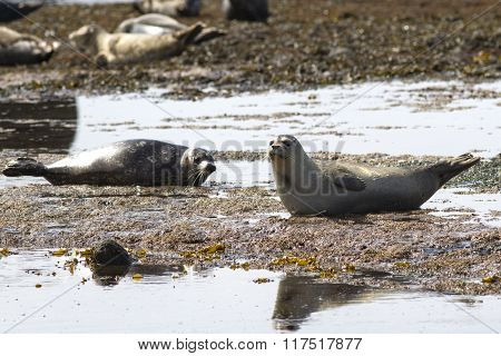 Harbor Seal Lying On The Beach At Low Tide
