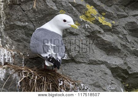 Red-legged Kittiwake Which Sits On The Nest Head Turned A Cloudy Spring Day