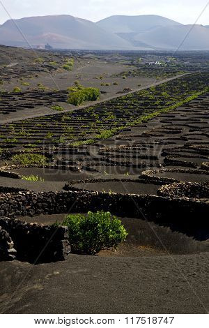 Viticulture  Lanzarote S Wall Crops  Cultivation