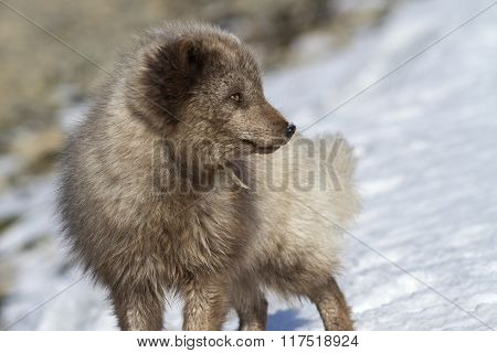 Commander's Blue Arctic Fox Who Enthusiastically Looking Away